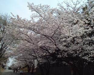 2008年 今年の桜 大阪です。