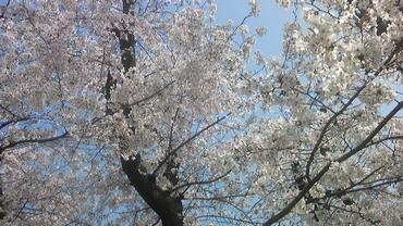 近所の桜です。