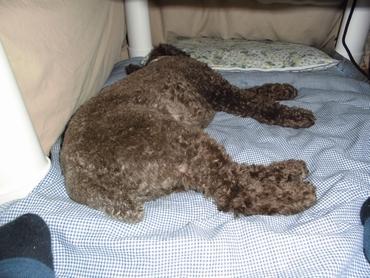 こたつの中で寝る犬